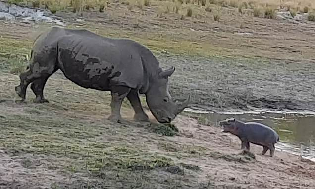 Baby hippo tries to scare off a giant white rhino from a watering hole #babyhippo