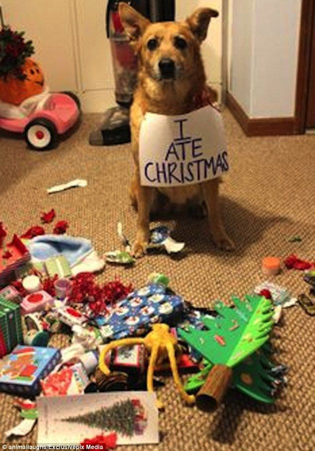 Hilarious photos reveal the cats and dogs ruining Christmas | Dog ...