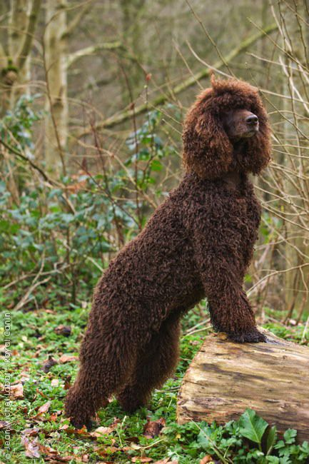Irish Water Spaniel Irish Water Spaniel Dogs Spaniel Puppies