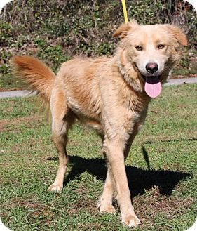 Prattville Al Golden Retriever Chow Chow Mix Meet Chase 23441