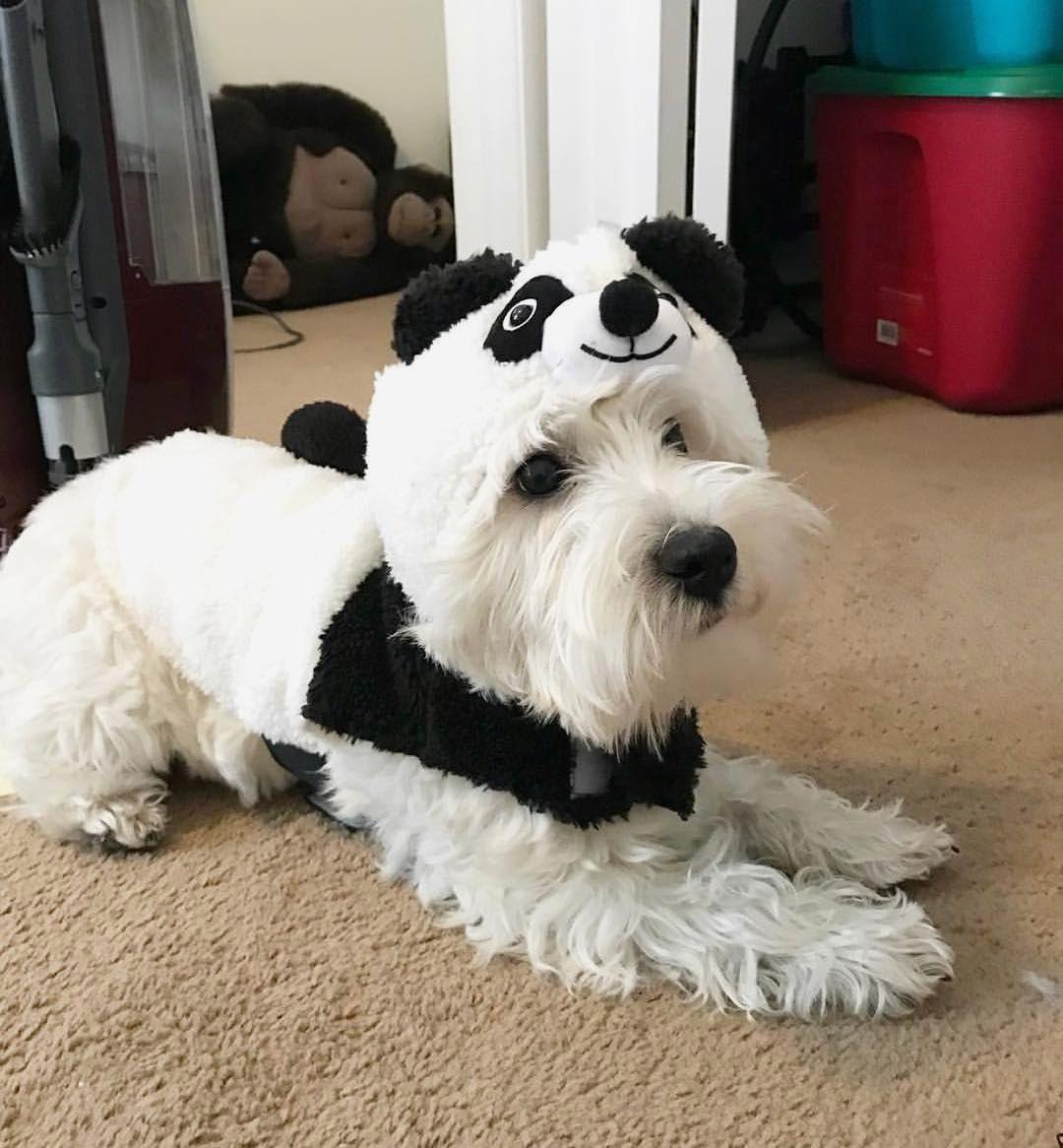 Buy Westie Puppies In Nevada USA