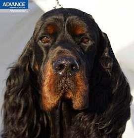 Aust Supreme Ch Triseter Celtic Ice   Dogs   Dogs, Gordon