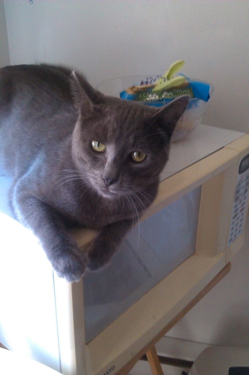 Available For Adoption In Montreal An Adult Blue Cat Named Kiwi Kiwi Is A Super Affectionate Male And Has Been Given A Cl Cat Adoption Pet Adoption Animals