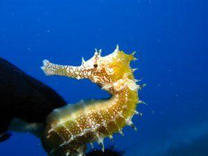 Caballito de mar (Hippocampus jayakari)