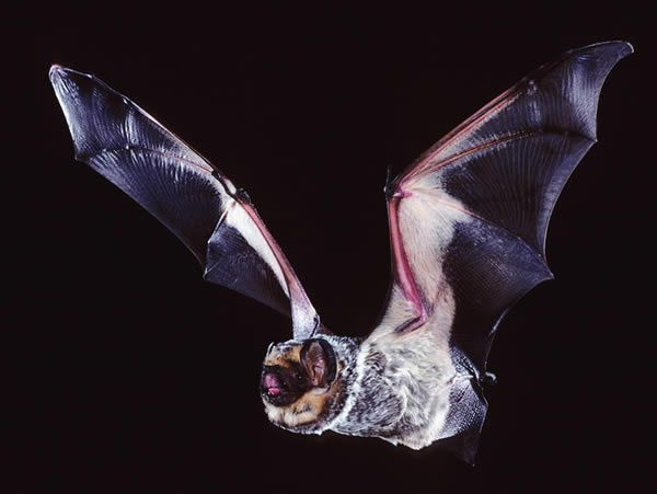 hawaiian hoary bat pictures  Hoary Bat  Bats About Our Town