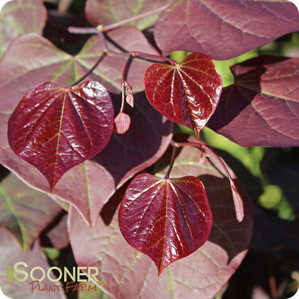 Fall Plants, Plant Leaves, Canadensis