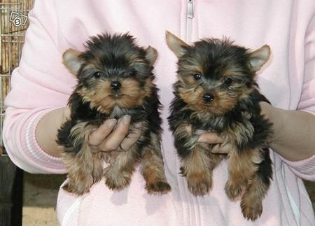 Teacup Dogs For Free In Texas Category Dogs Puppies Yorkshire