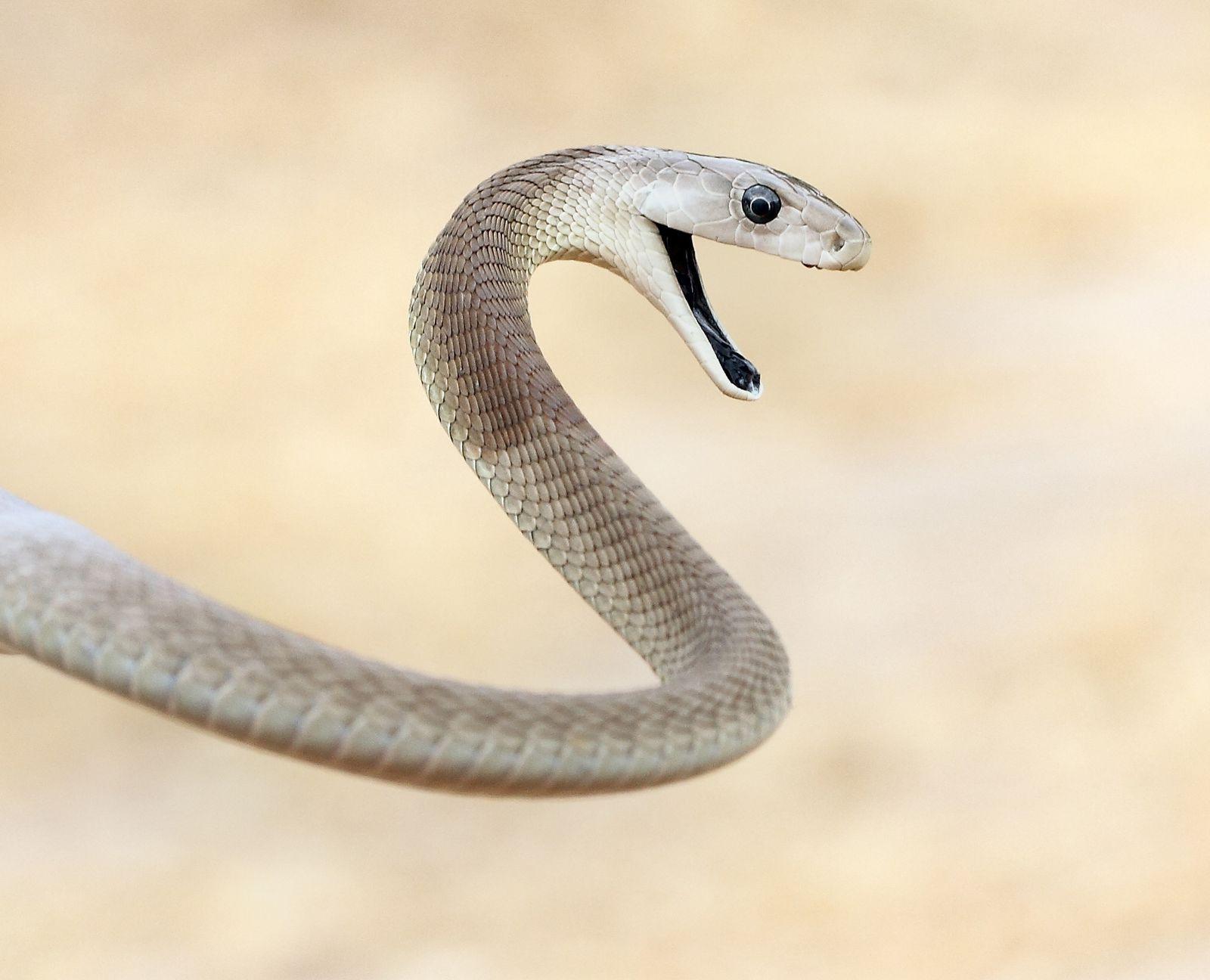 температуры картинки змей черная мамба время эксплуатации