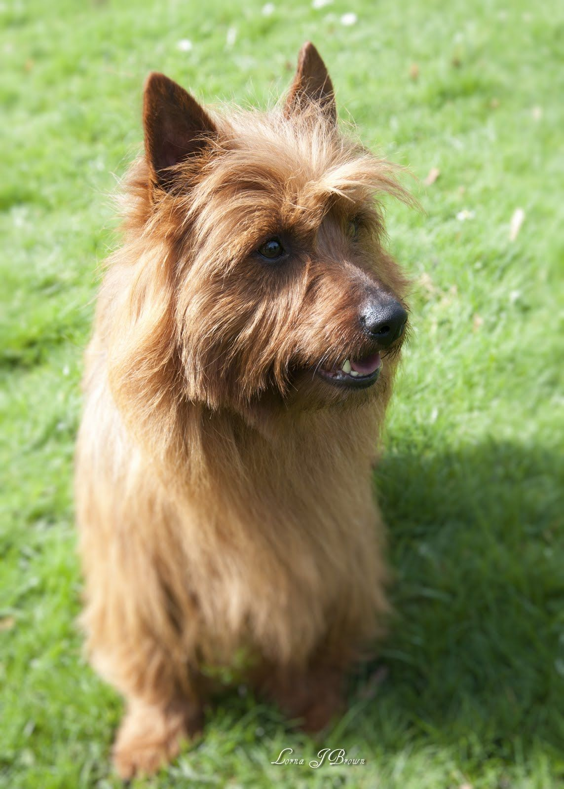 Australian Terrier Dog Australian Terrier Terrier Dogs Terrier