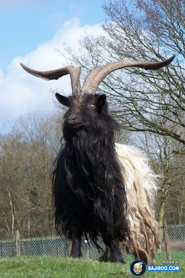 R Goats Half goat, half...