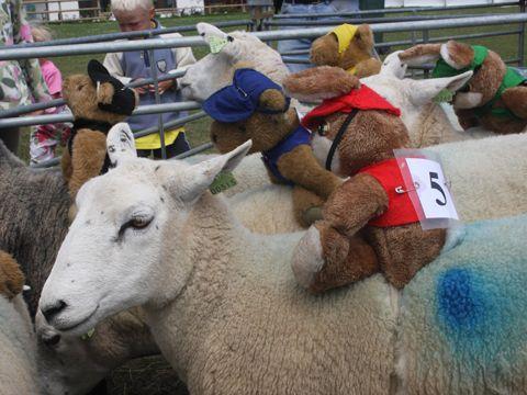 Sheep Racing runners and riders