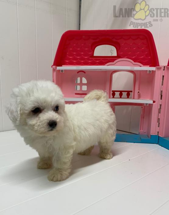 Daisy Female Puppy Bichon Frise Puppy For Sale In Dayton Oh Puppies For Sale Bichon Frise Puppy Puppies