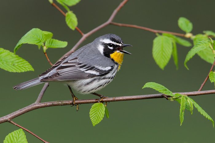 Setophaga Dominica Yellow Throated Warbler Zheltogorlyj Lesnoj Pevun