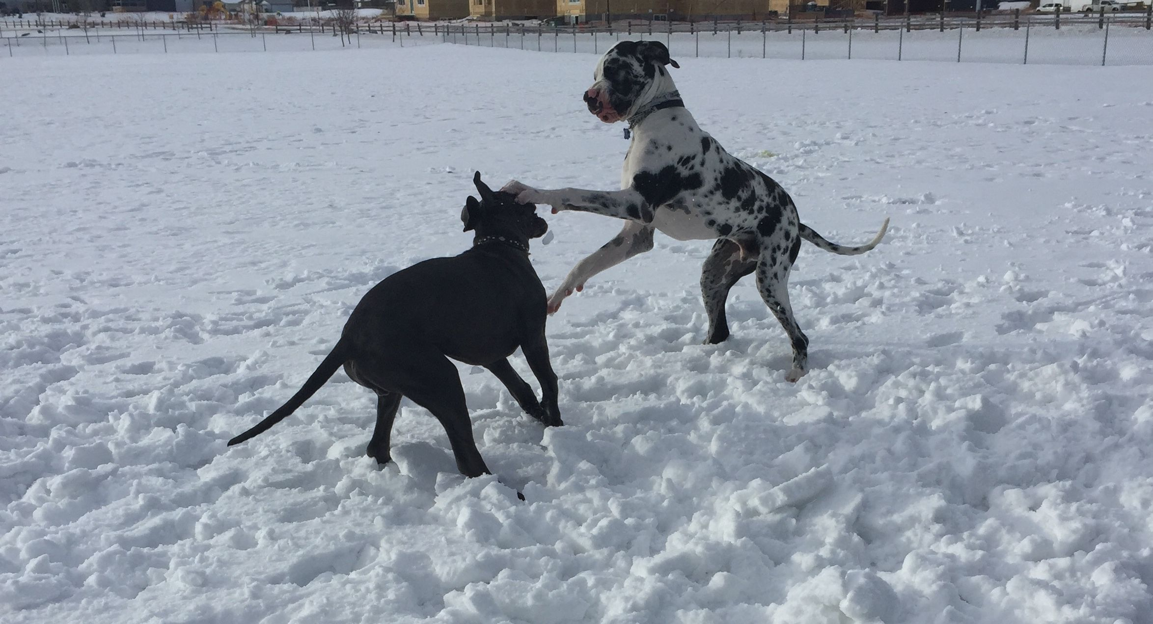 Blue And Harlequin European Great Danes Pet Puppy Dogs Bigdogs Great Dane Dogs Dane Puppies