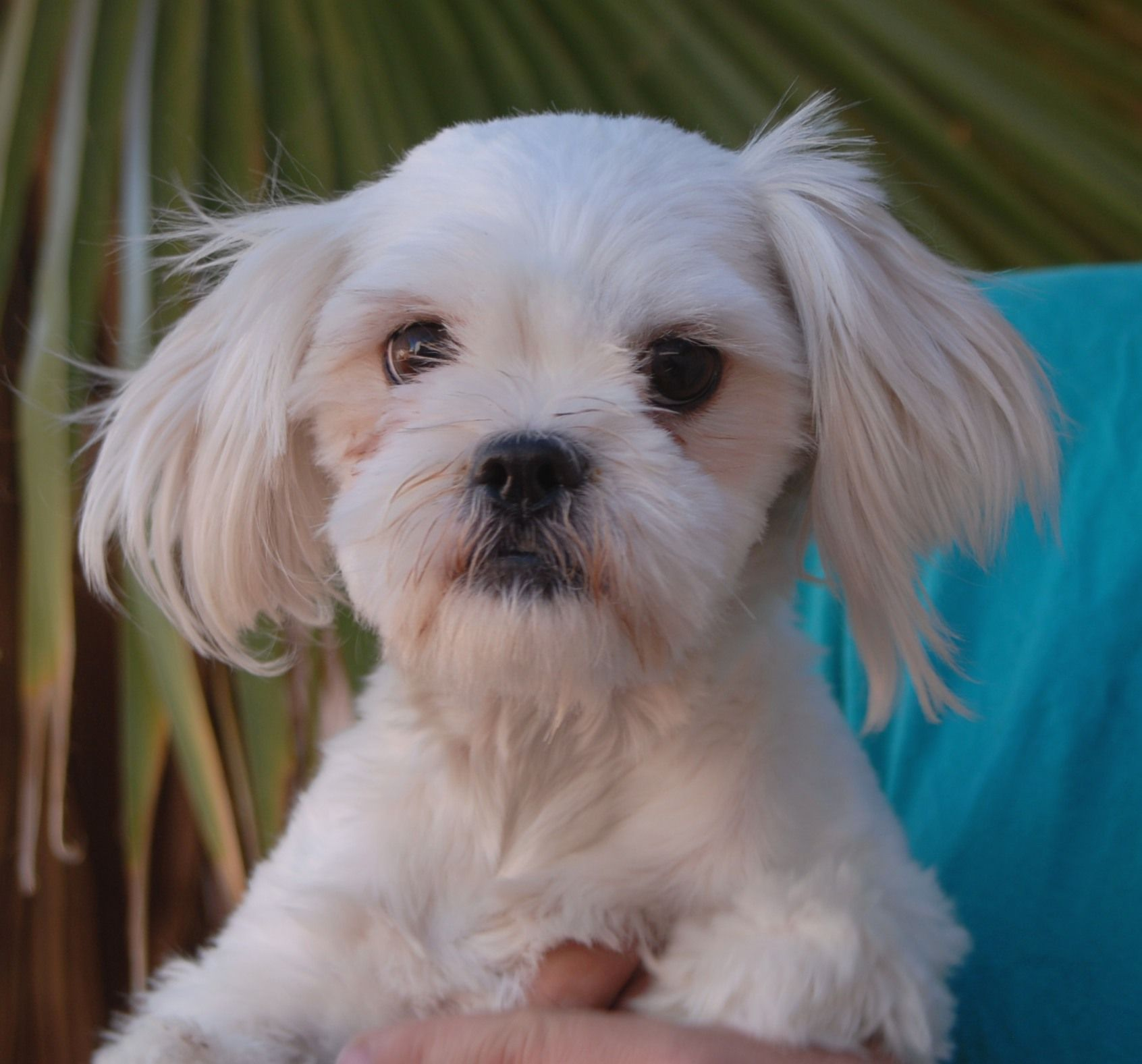 Bridgette Is A Bashful Junior Puppy Longing For Stability And Routine She Is A Maltese Shih Tzu Mix 10 M Dog Potty Training Dog Body Language Dog Adoption