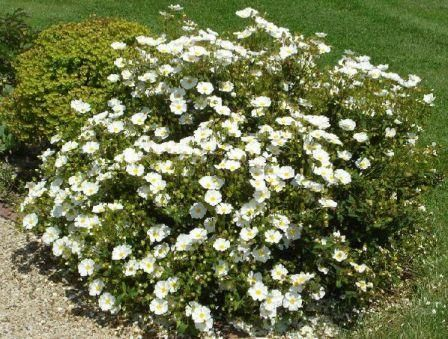 Ch5 Cistus Hybridus White Rockrose