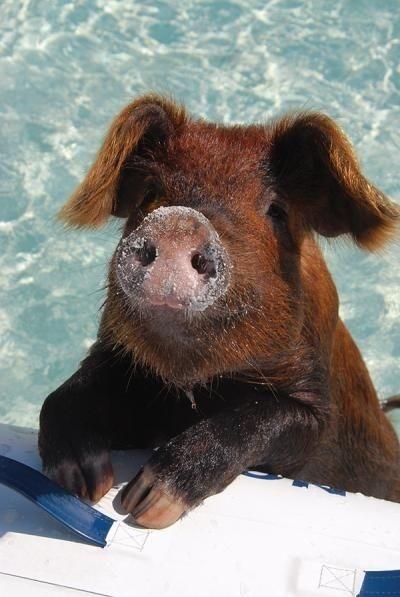 Cute Animals, Swimming Pigs, Pig Beach