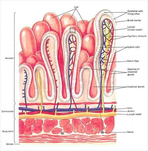 Small Intestine Layers Diagram Google Search Anatomy Pinterest