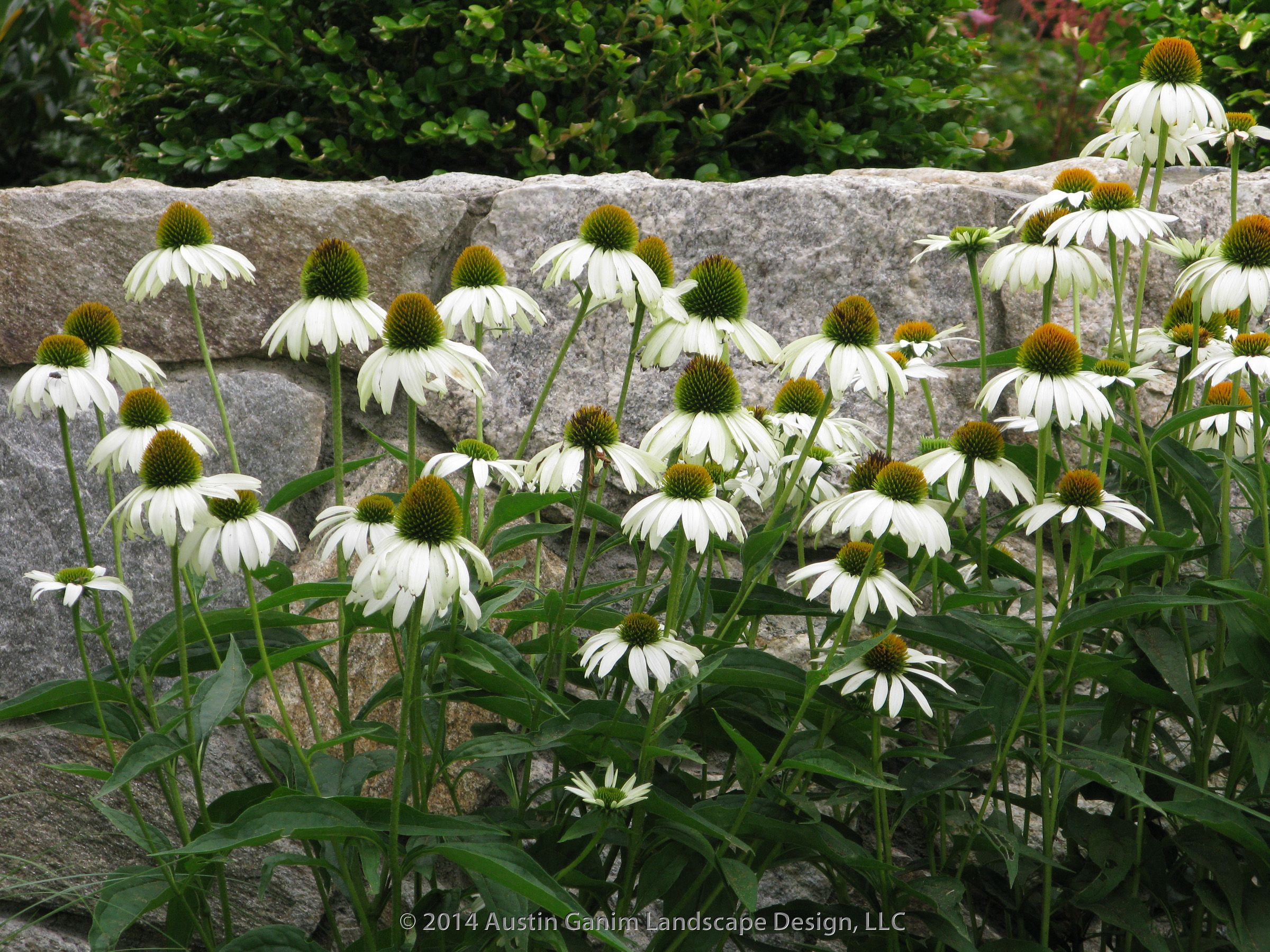 Echinacea purpurea 'White Swan' - coneflower, this summer perennial is a favorite of butterflies and hummingbirds. USDA Hardiness Zones 4-8