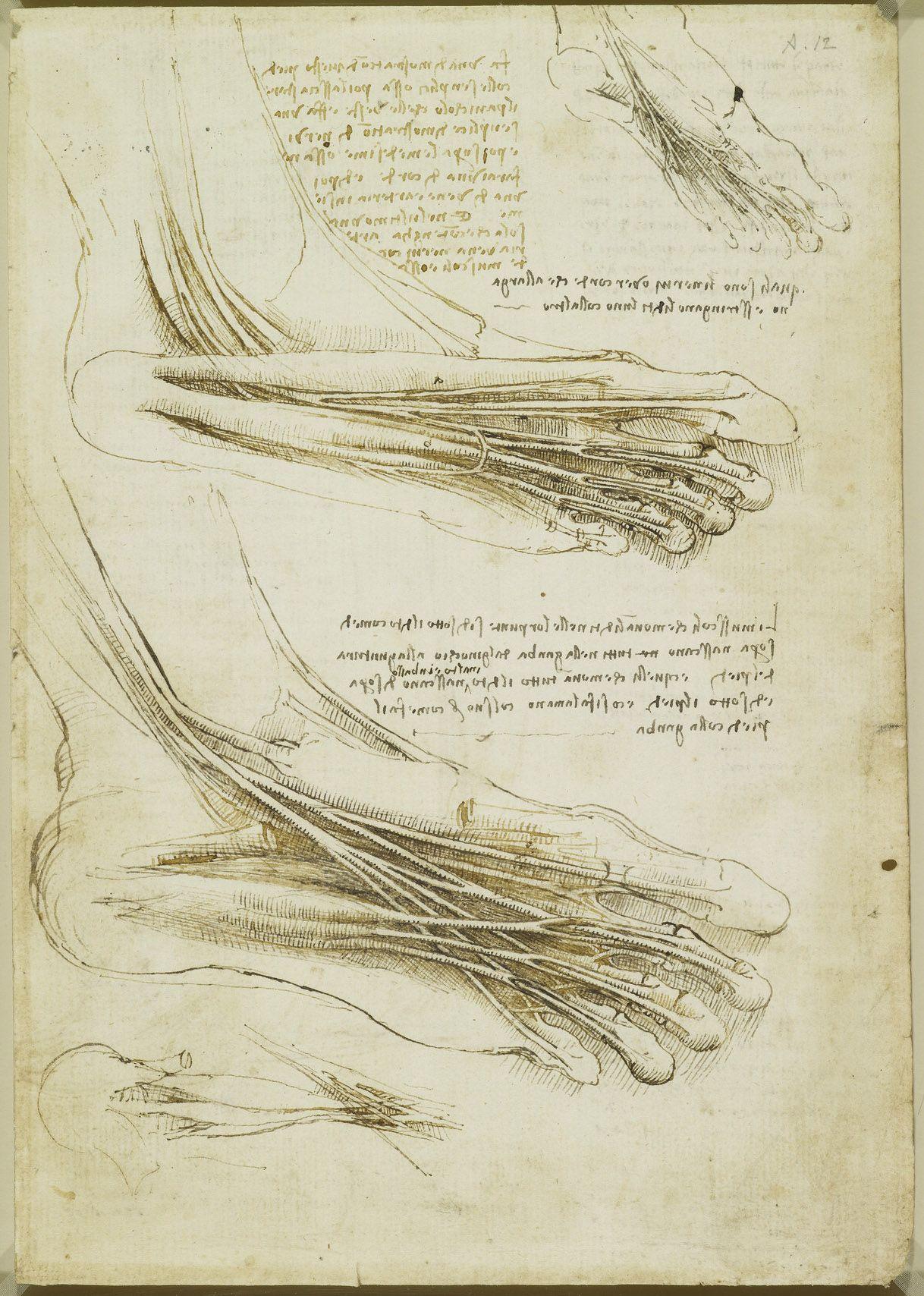 Leonardo da Vinci (Vinci 1452-Amboise 1519) - Recto: The muscles and ...