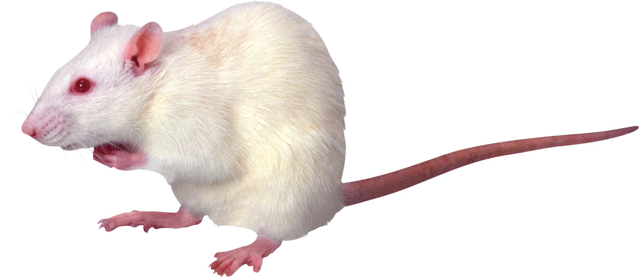 White Rat Png Image Albino Animals Rare Albino Animals Albino Rats eats a variety of foods. white rat png image albino animals