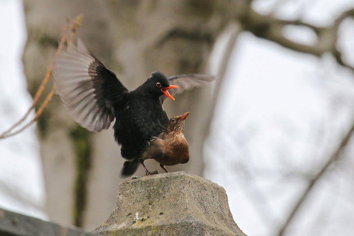 طائر الشحرور او الجحمومية كل ماتود معرفته حول هذا الطائر طيور العرب Animals Bird