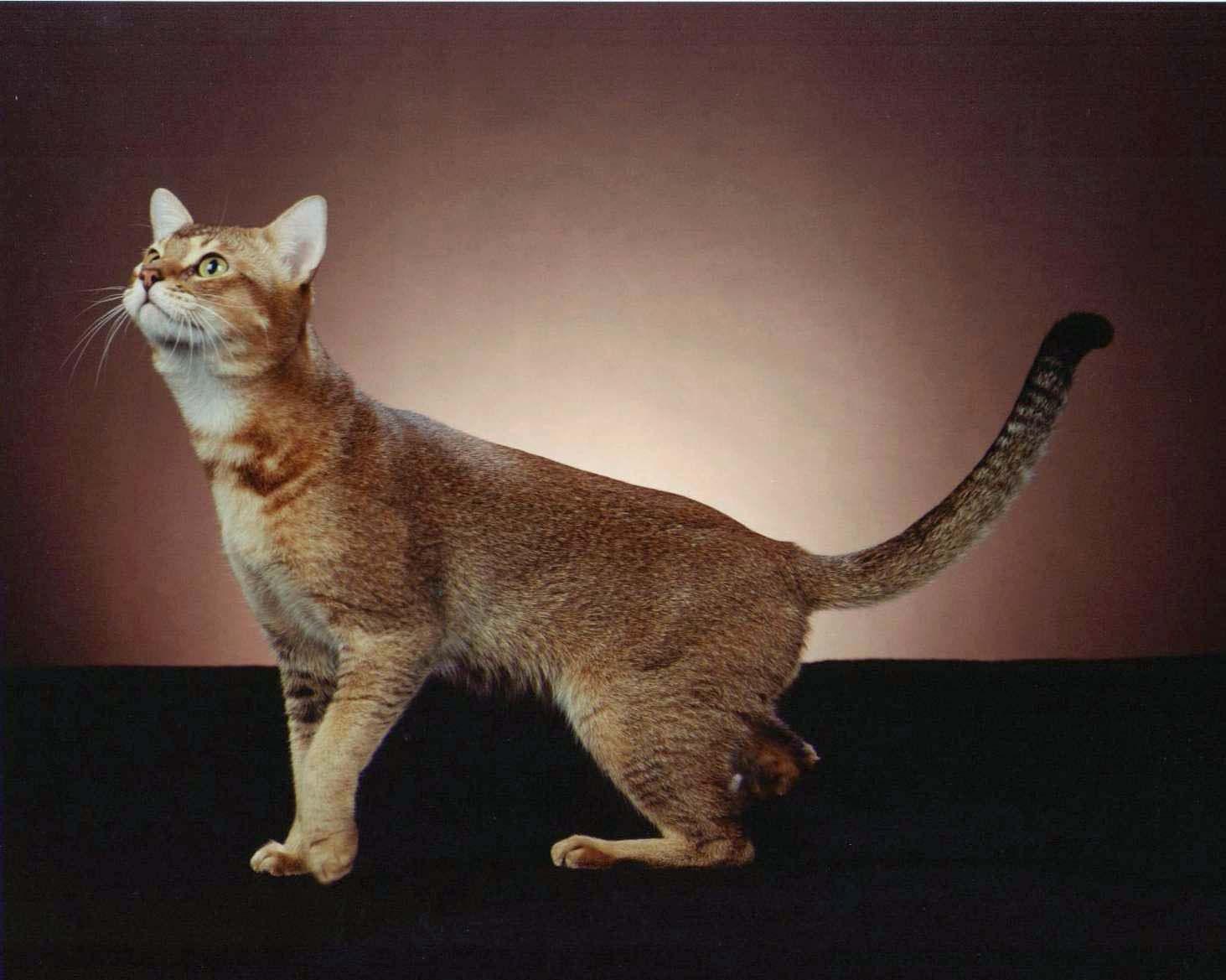 chausie stone cougar