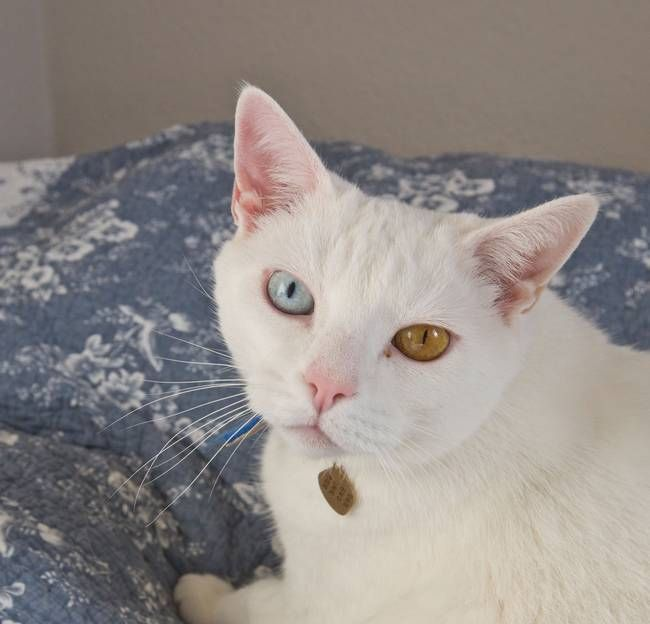 Cat with two different eye colors