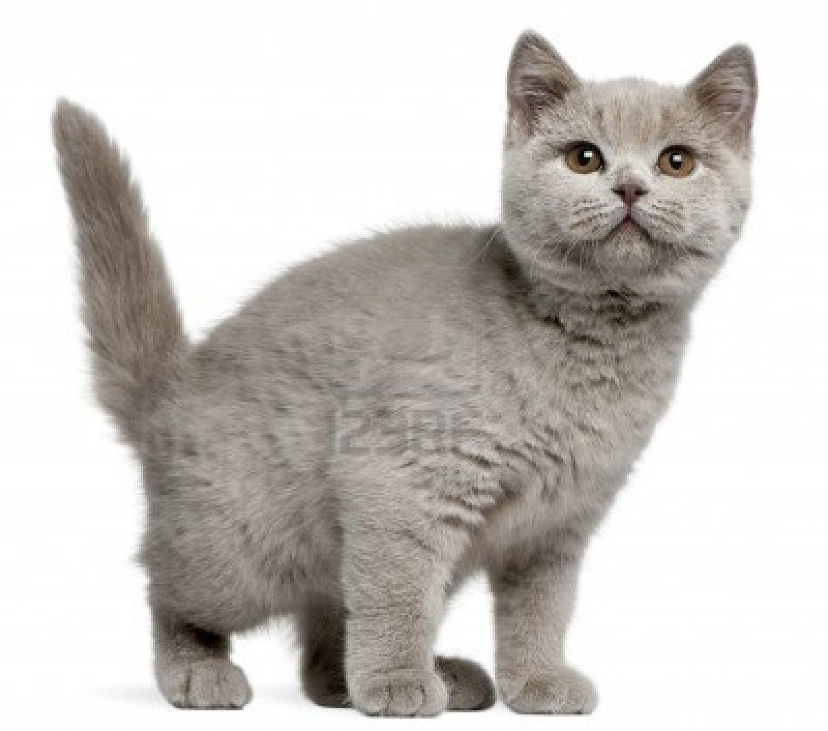 British Short Hair Brits Korthaar Katten Kittens