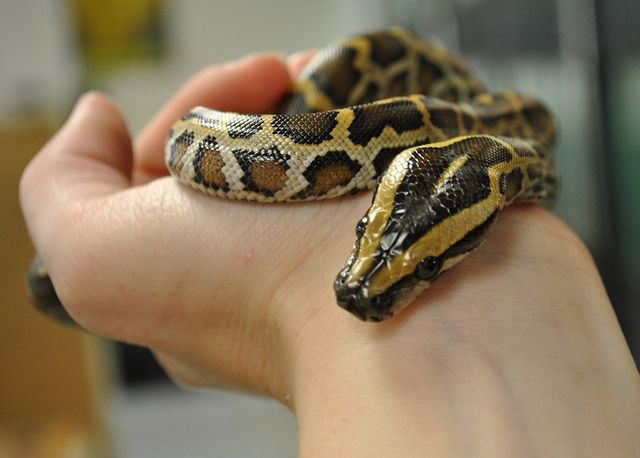 Baby Burmese Python | Burmese python, Burmese and Python