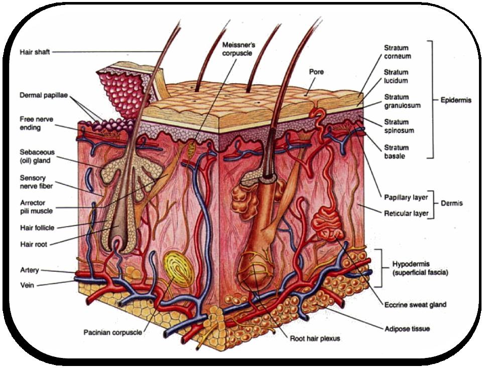 The Integumentary System Rna Pinterest Lichen Sclerosus
