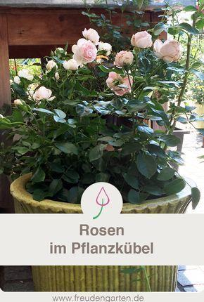Rosen Im Pflanzkubel Richtig Pflegen Dungen Uberwintern Und Giessen Rosen Pflanzen Pflanzen Rosen Im Topf