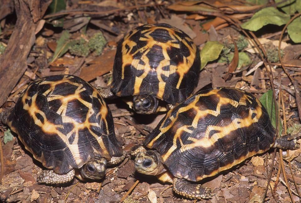 Madagascar Spider Tortoise (Pyxis arachnoides brygooi) | Tortoise ...