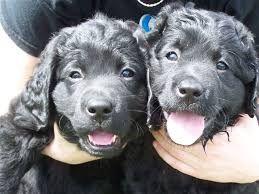 Image Result For Curly Haired Chocolate Lab Labrador Retriever Labrador Retriever Puppy