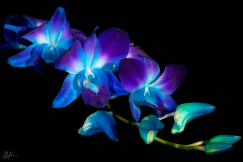 Blue Orchid In A Vine On Upper Arm Beautiful Flowers Photography Blue Orchid Flower Glowing Flowers