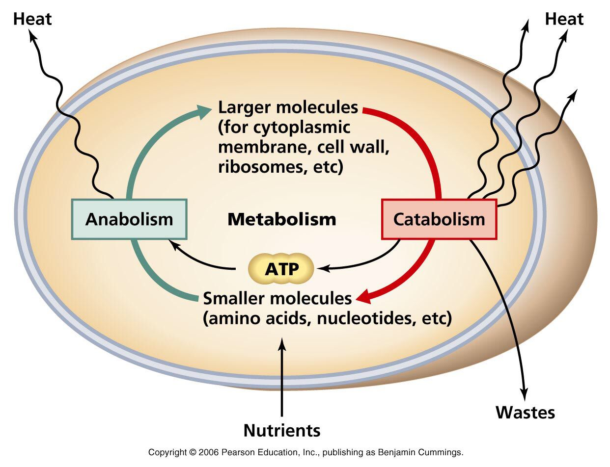 hight resolution of metabolism catabolism anabolism