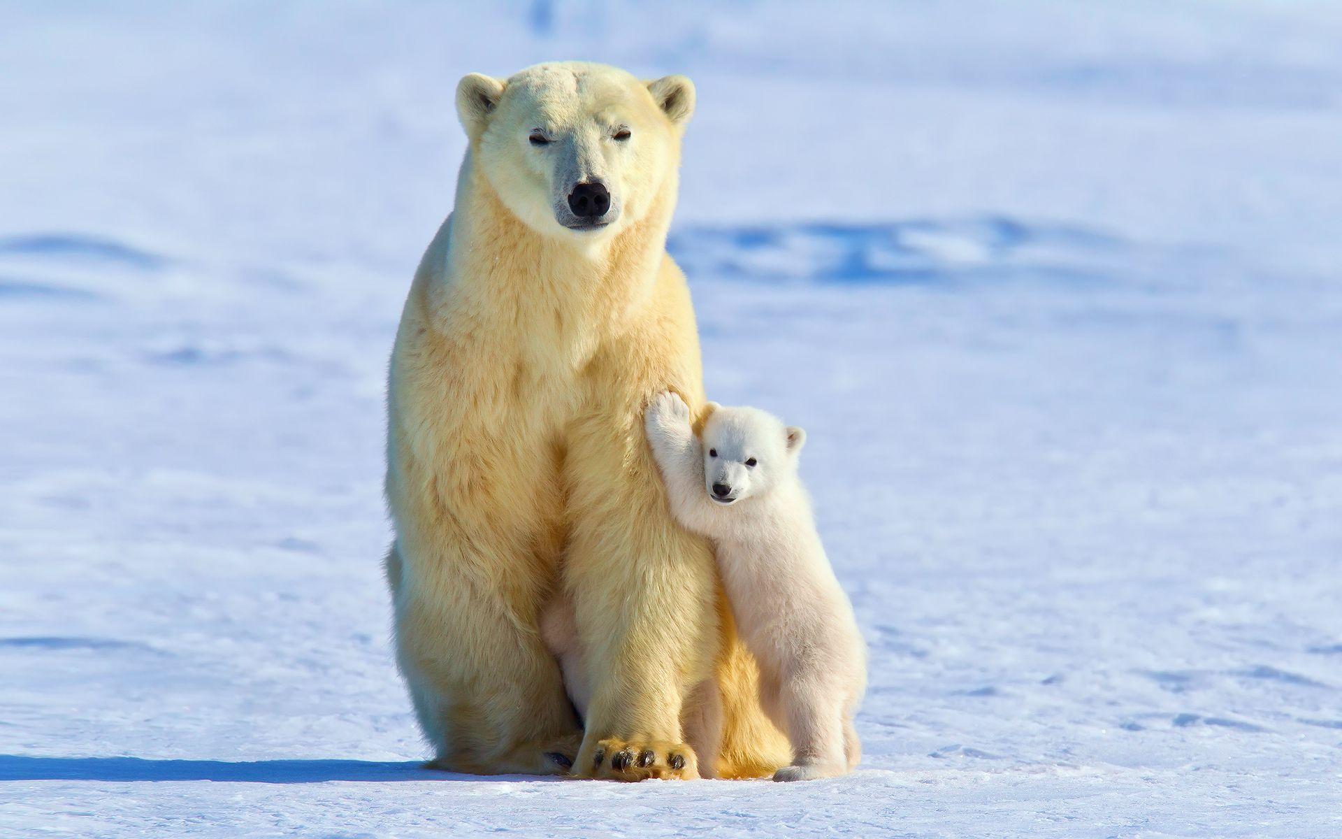 Baby Polar Bears Wallpapers For Desktop Polar Bears Animals Snow Ice Baby Animals Wallpapers Hd Deskto Baby Polar Bears Polar Bear Wallpaper Polar Bear