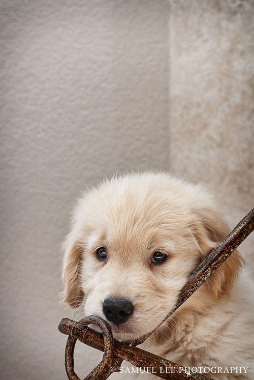 adorable golden retriever puppy