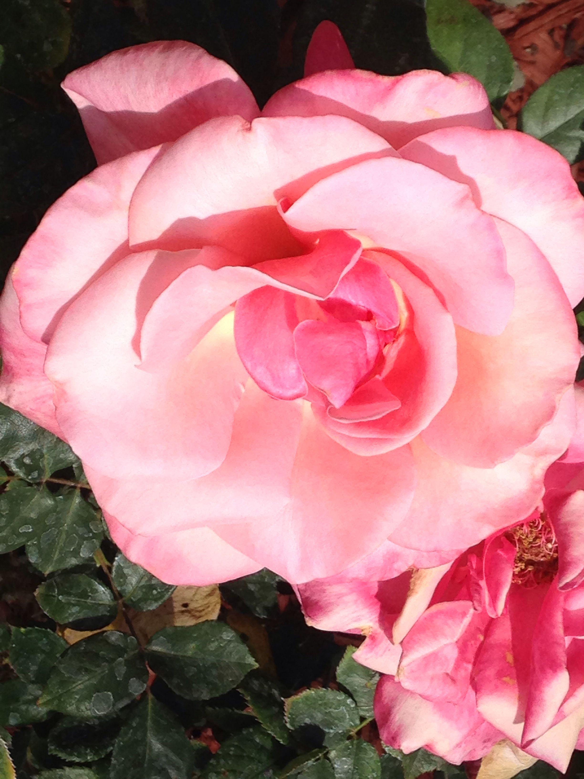 A rose in my moms garden