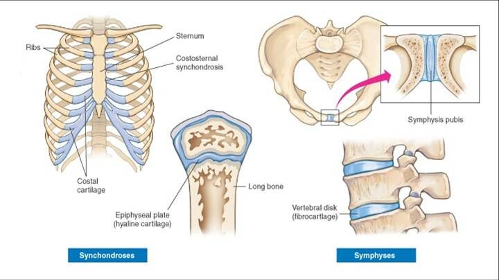 Pin Pa Anatomy Synchondrosis and symphysis are two types of joints that are situated between bones. pin pa anatomy