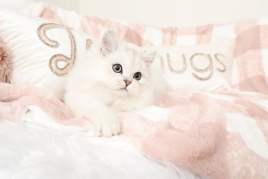 Marshmallow Silver Chinchilla Persian Kitten Currently Available Persian Cats For Sale Persian Kittens Persian Cat