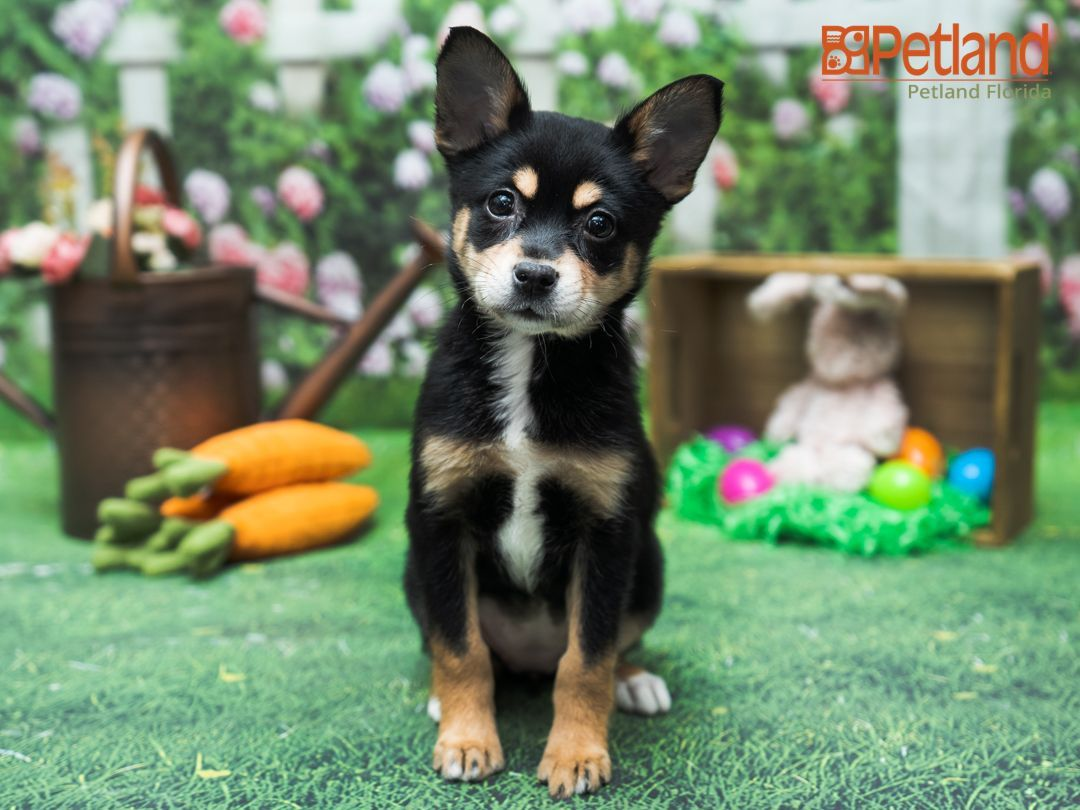 Petland Florida Has Aussieklee Puppies For Sale Check Out All Our Available Puppies Aussieklee Puppy Doglover Adorable D In 2020 Puppy Friends Dog Lovers Pets
