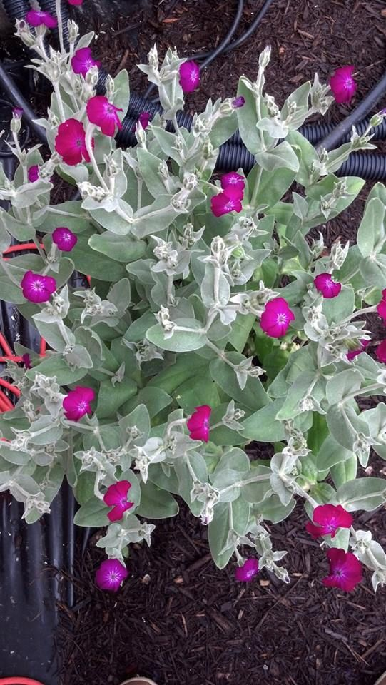 This Is Called Rose Campion It Is A Relative Of Lamb S Ear These Beautiful Flowers Are From My Brother S Flower Rose Campion Trees To Plant Beautiful Flowers