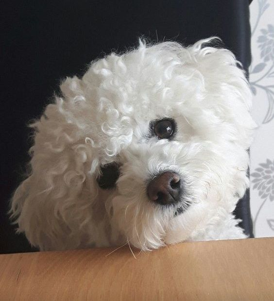 14 Reasons Bichon Frises Are The Worst Indoor Dog Breed Of All Time