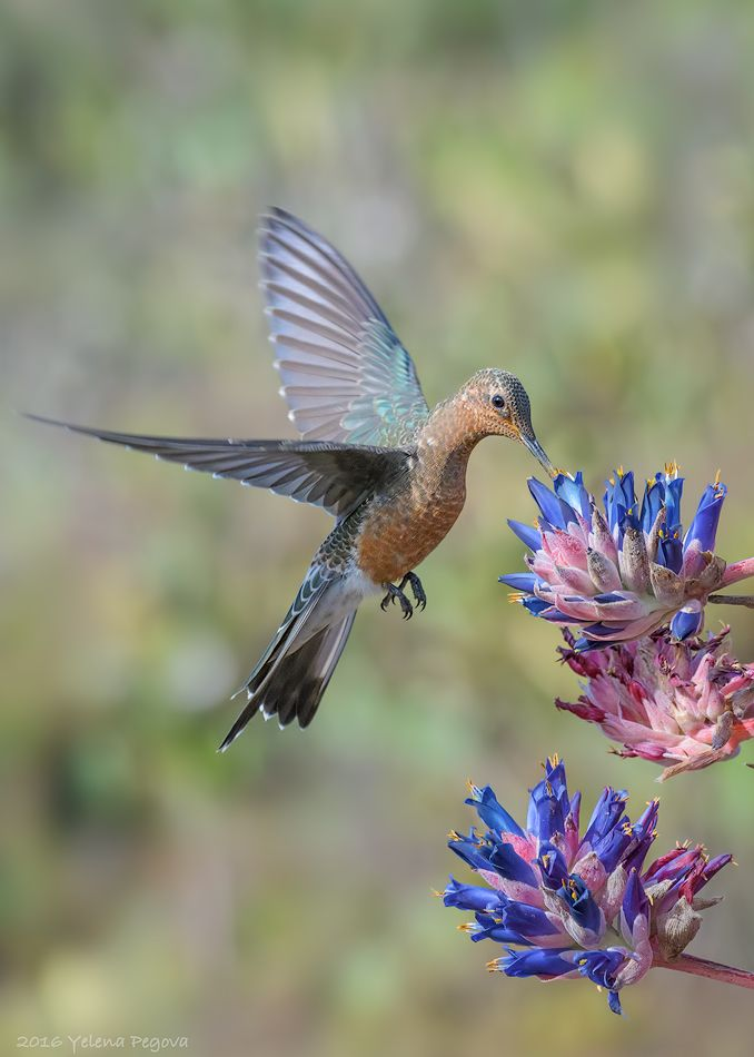 giant hummingbird or picaflor gigante patagona gigas chile by