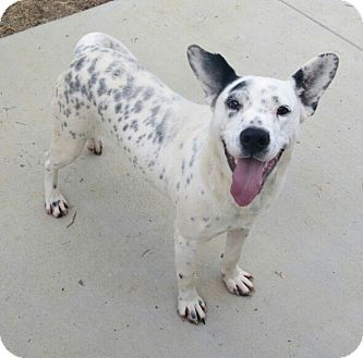 Harley Adopted Dog Virginia Beach Va Dalmatian Blue Heeler
