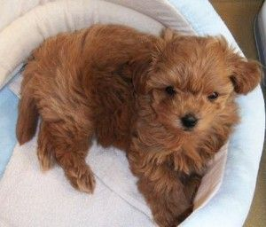brown maltipoo puppies for sale | Cute Baby Animals ...
