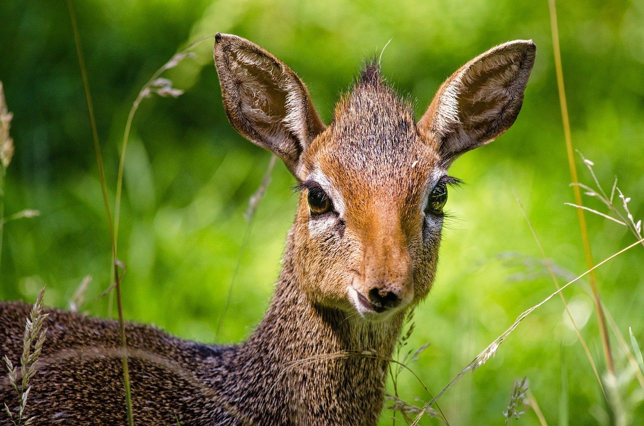 This is a dikdik and yes, that is its real name. They