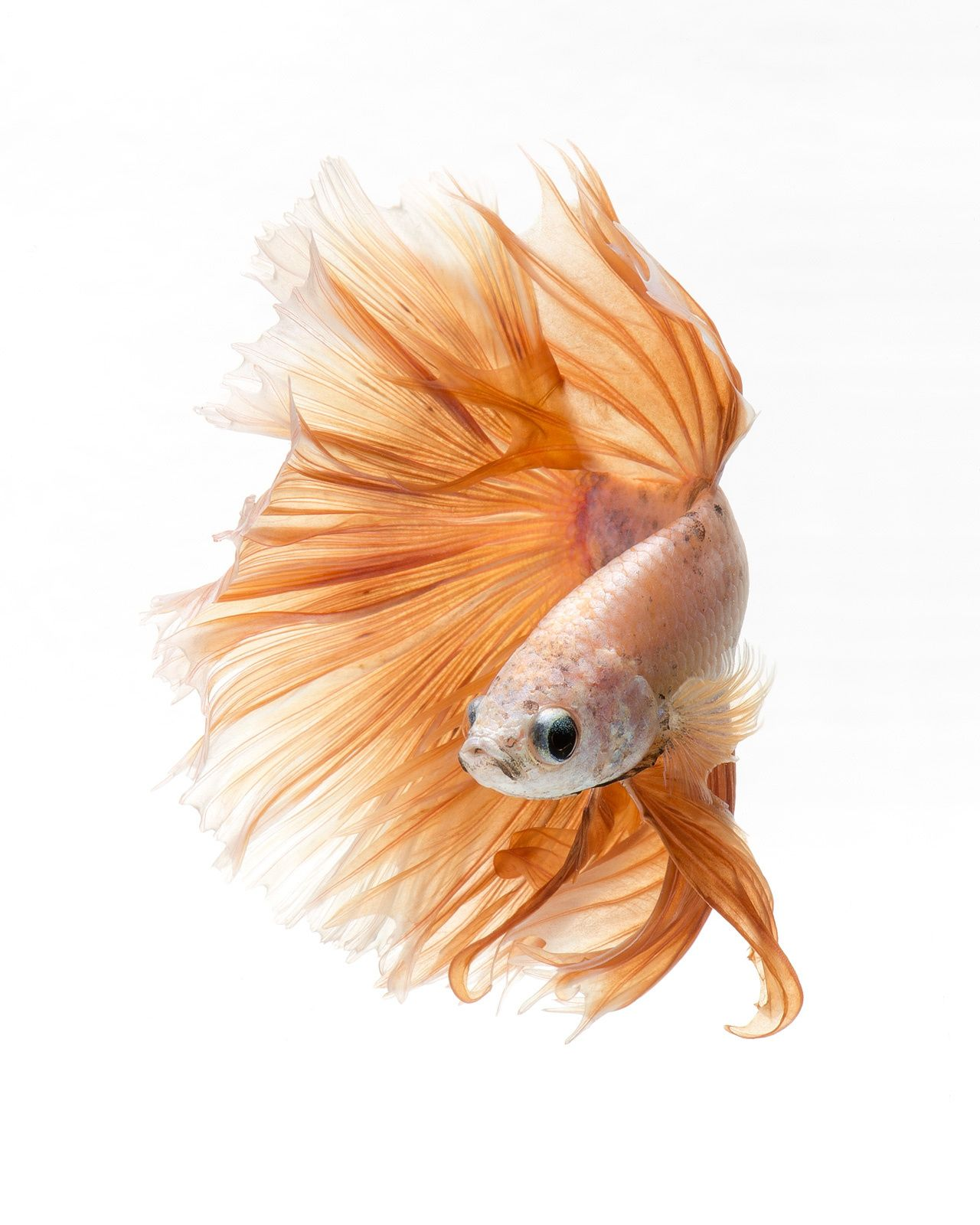 Mr. Peach - Capture the moving moment of peach color siamese fighting fish isolated on black background. Betta fish. Fish of Thailand