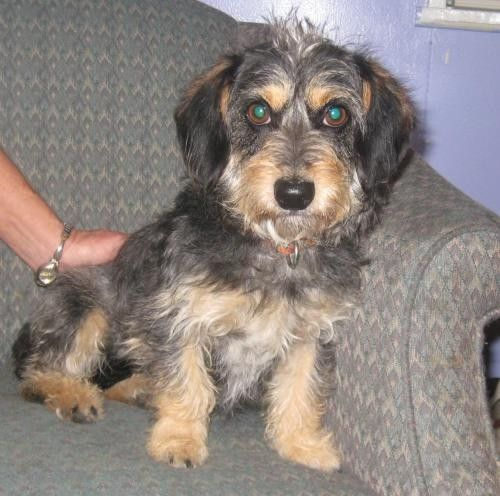 Faith Is A 7 Month Old Dachshund Maltese Mix Female Puppy Available For Adoption In Madisonville Ky At A High Kill Sh Mixed Breed Puppies Dog Adoption Puppies